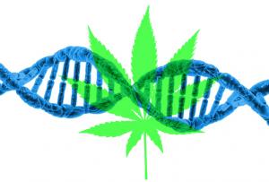 Genetics and cannabis